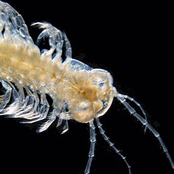First Venomous Crustacean Discovered