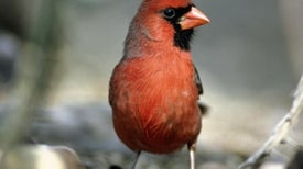 Red Birds Carry On Colorful Chemistry