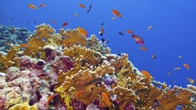 Hot Water Exposes Most Vulnerable Corals