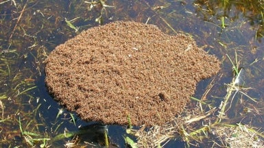 Secrets of Ant Rafts Revealed