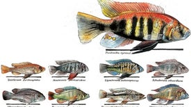 The Extraordinary Evolution of Cichlid Fishes