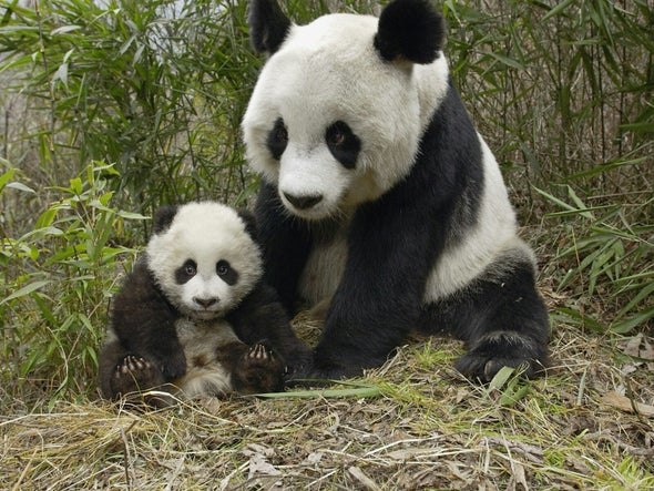 Pandas Swoon to Particular Croons