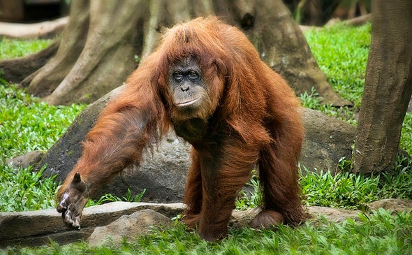 Indonesia Blazes Threaten Endangered Orangutans