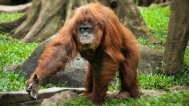 Indonesia Blazes Threaten Endangered Orangutans