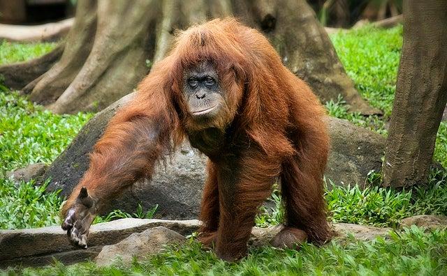 Image of: Sumatran Orangutan Indonesia Blazes Threaten Endangered Orangutans Scientific American Indonesia Blazes Threaten Endangered Orangutans Scientific American