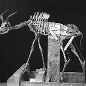 KUDU SKELETON: