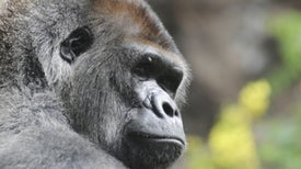 Gorilla's Hum Is a Do-Not-Disturb Sign