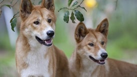 Dogs Bow to Wolves as Cooperators