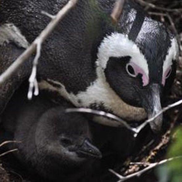Found: Africa's Oldest Penguins