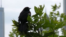 City Life Turns Blackbirds into Early Birds