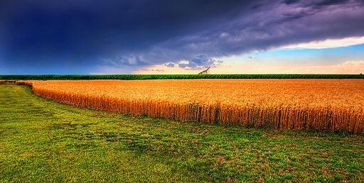 GM Wheat That Emits Pest Alarm Signals Fails in Field Trials