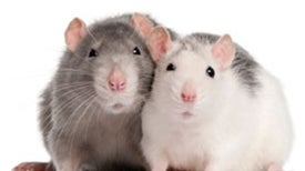 A Tale of 2 Rodents