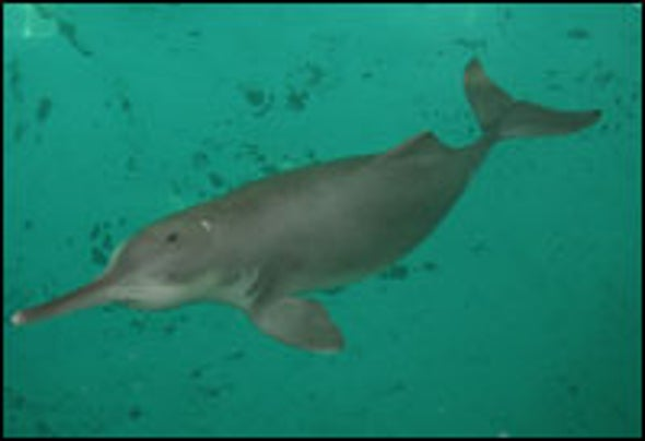 Requiem for a Freshwater Dolphin