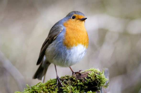 The Secret behind Songbirds' Magnetic Migratory Sense