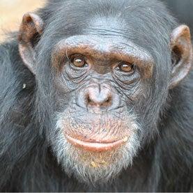 Psychiatry Tries to Aid Traumatized Chimps in Captivity