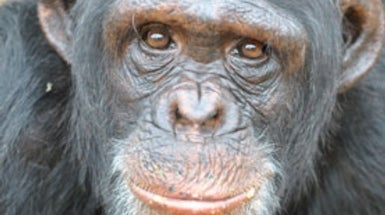 Psychiatry Tries to Aid Traumatized Chimps in Captivity