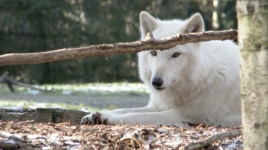 Wolves Howl In Local Dialects