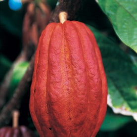 Death and Chocolate: Disease Threatens to Devastate Global Cocoa Supply