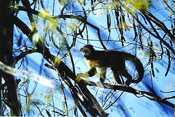 Monkey Tool Use