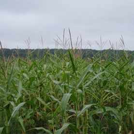 GM corn, Genetically Modified Maize