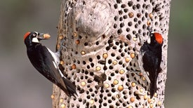 Vicious Woodpecker Battles Draw an Avian Audience