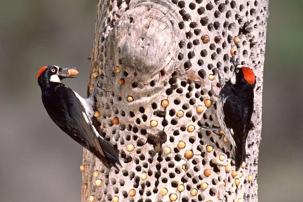 Vicious Woodpecker Battles Draw an Avian Audience