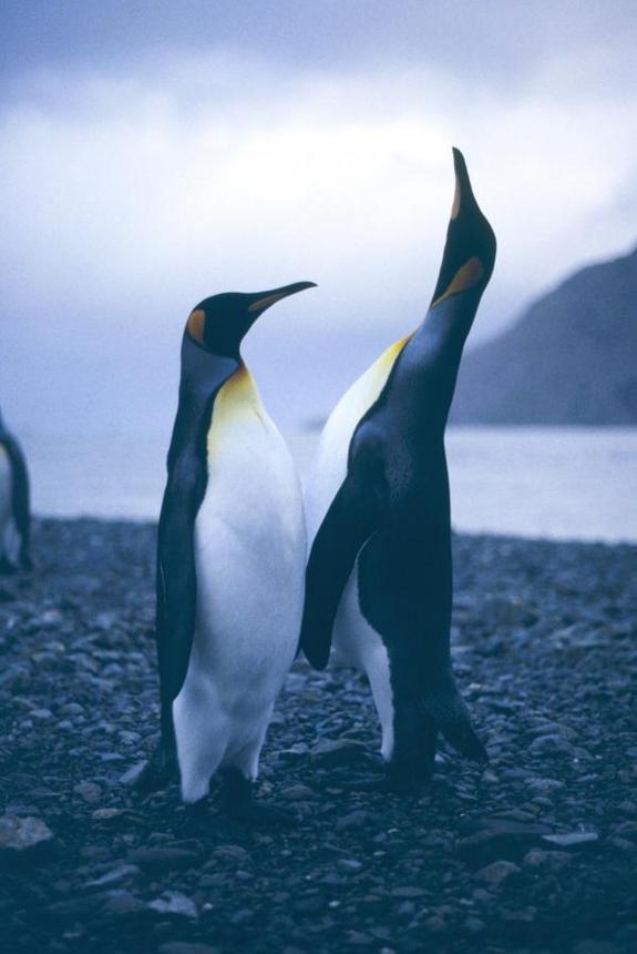 King Penguin's Island-Hopping History Revealed