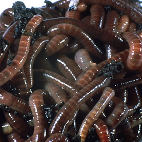 Why Do Earthworms Surface After Rain?