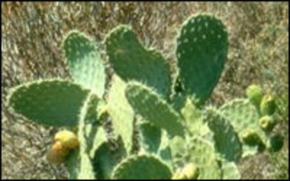 Prickly Pear May Be Hangover Preventative
