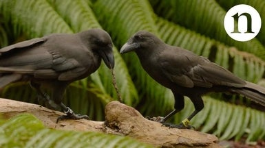 Hawaiian Crows Use Tools to Reach Tidbits