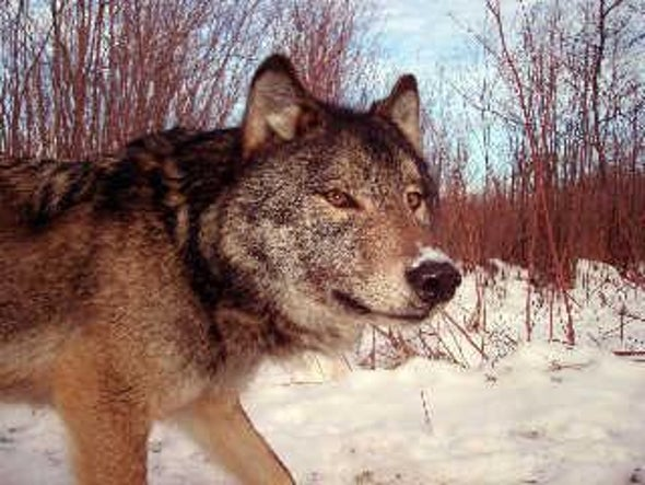The Wolf and the Moose: Natural Enemies That Need Each Other