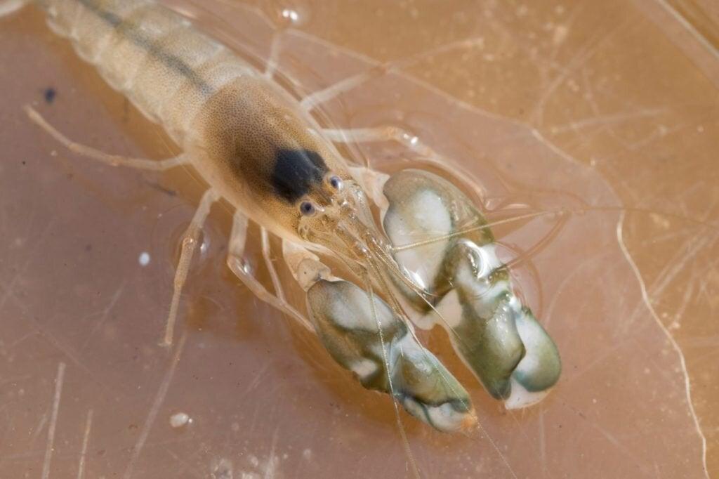 Snapping Shrimp Make More Noise in Warmer Oceans