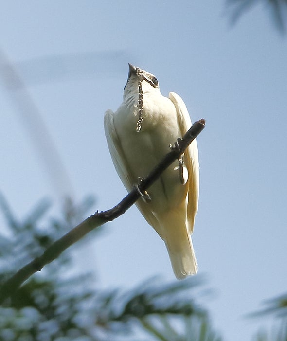 When the Bellbird Calls, You Know It