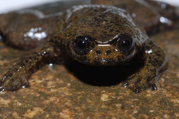 First Lungless Frog Discovered in Indonesia
