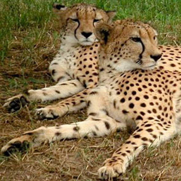 Feces May Transmit Fatal Cheetah Disease
