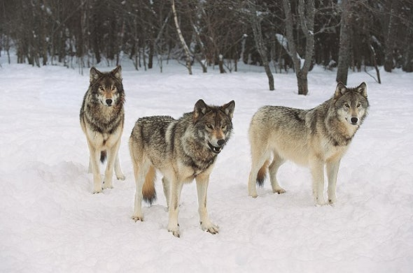 Wolves Have Local Howl Accents