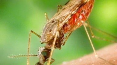 Experimental Vaccine Targets Malaria Parasite When It Tries to Enter the Bloodstream