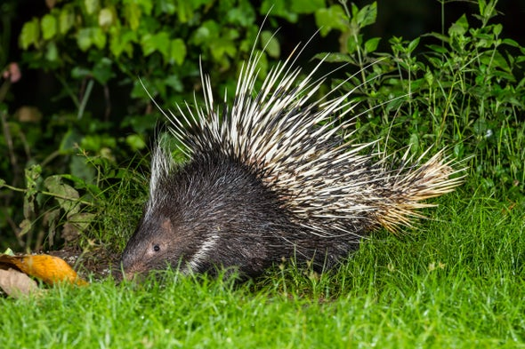Porcupines Face a Poaching Crisis—and It's All Because of What's in Their Stomachs
