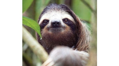 It's Official: Three-Toed Sloths Are the Slowest Mammals on Earth