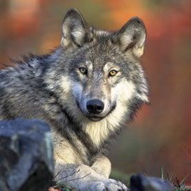 gray-wolf