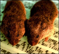 Gene Linked to Lasting Love in Voles