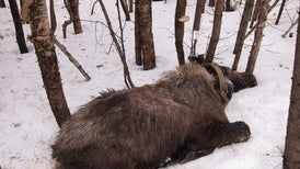 As Winters Warm, Blood-Sucking Ticks Drain Moose Dry