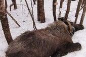 As Winters Warm, Blood-Sucking Ticks Drain Moose Dry