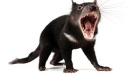 Watch Tasmanian Devils in the Wild [Video]