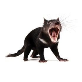 tasmanian devils, cancer