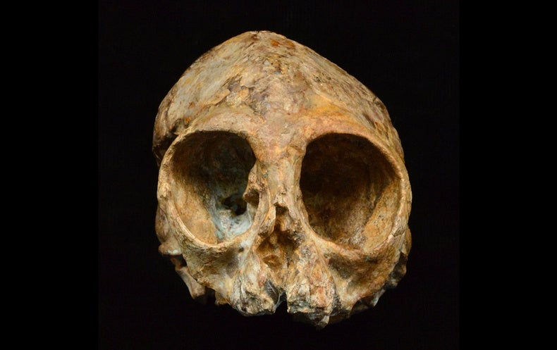 Fossil Reveals What Last Common Ancestor of Humans and Apes Looked Liked