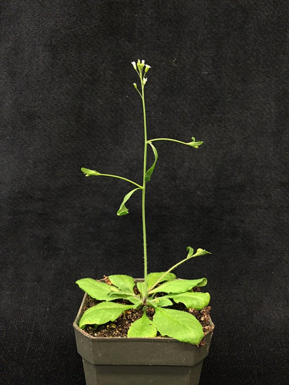 How to Manipulate Plants to Build a Better Biofuel