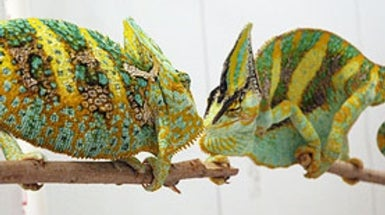 Chameleons Talk Tough by Changing Colors