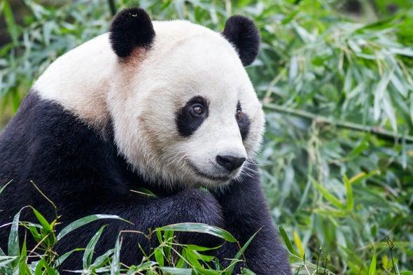 Roads Are Slicing Up Giant Pandas' Habitat