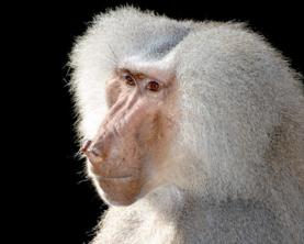baboon-close-up